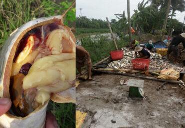 (Tiếng Việt) Quy trình trị Bệnh Vàng trên Cá Tra