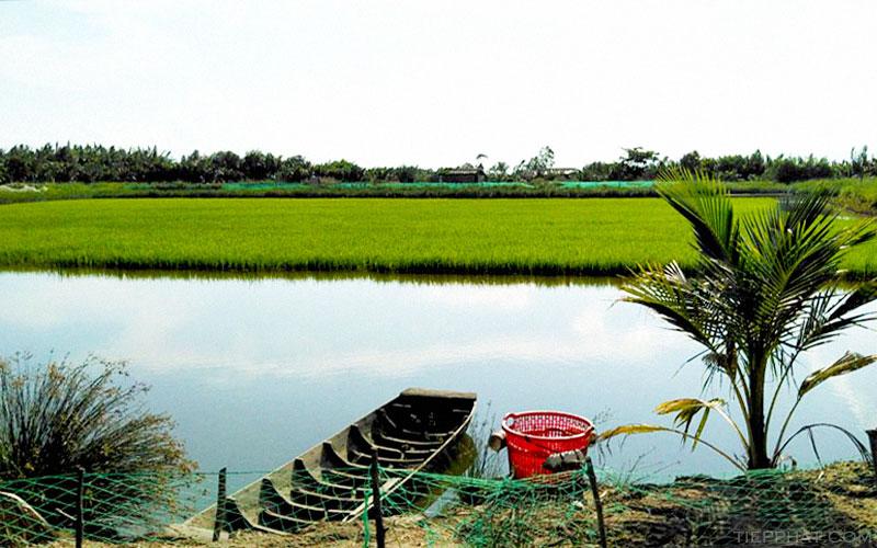 Bến Tre nuôi Tôm Càng Xanh toàn đực xen Lúa và luân canh Tôm Sú sinh thái đạt hiệu quả cao