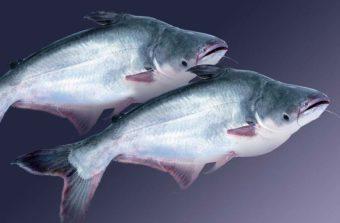 Cách phòng và trị một số bệnh trên Cá Tra