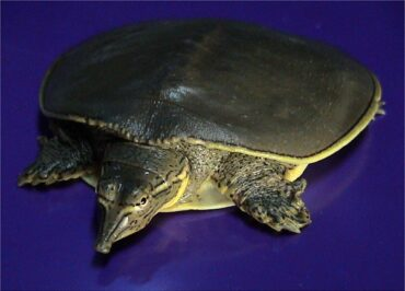 Experience in feeding Trionychid Turtle