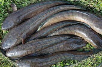 Kỹ thuật nuôi Cá Lóc