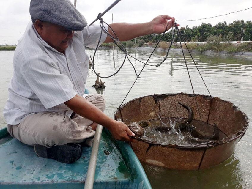 Mô hình nuôi Cá Chạch Lấu ghép Cá Heo Đuôi Đỏ hiệu quả ở Đồng Tháp