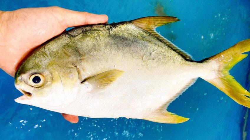 Mô hình nuôi Cá Chim Trắng Vây Vàng hiệu quả