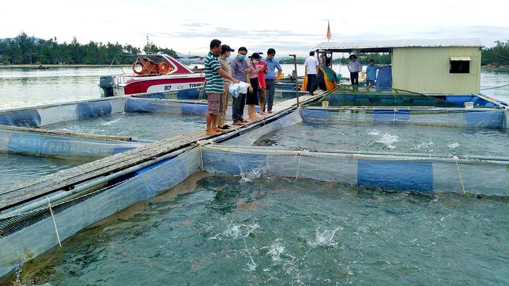 Quảng Nam: Triển vọng mô hình nuôi Cá Chim Vây Vàng lồng bè trên sông