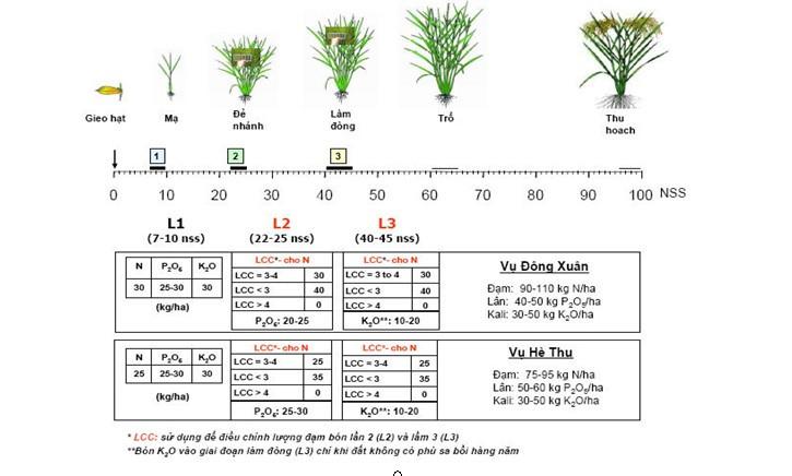 (Tham khảo bón phân cho lúa cao sản ngắn ngày theo Phạm Sỹ Tân 2008)