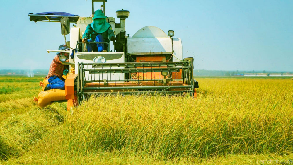 Rice industry ups production to take advantage of export opportunities