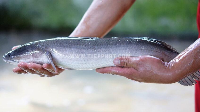 Vĩnh Long: Giá Cá Lóc tăng, nhưng nguồn cung không đủ